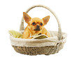 Red chihuahua dog in wicker basket.