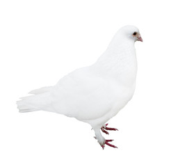 standing isolated white pigeon