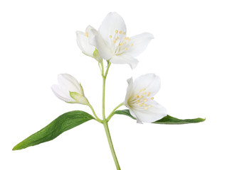 isolated beautiful jasmine branch