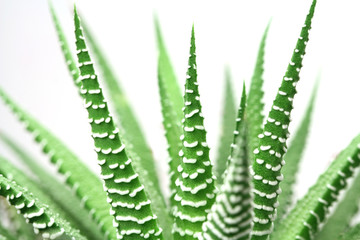 green stems Decorative cactus on a white background