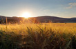 Wheat field with sun