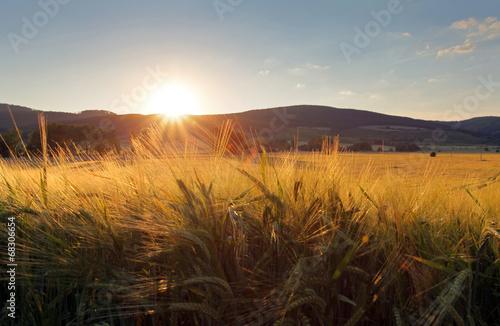 Wheat field with sun - 68306654