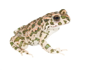 Young european green toad isolated on white,  (Bufo viridis)