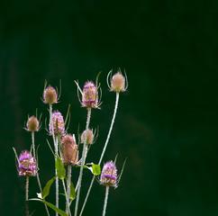 Chardon en Fleurs
