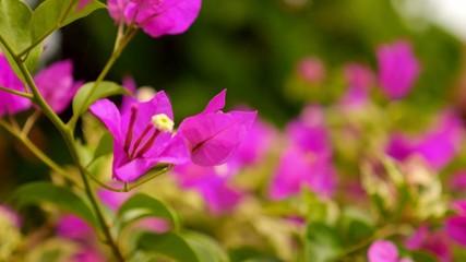 Closeup of Beautiful Pink Flowers Outdoors.