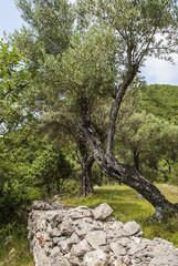 Stone wall and olive tree