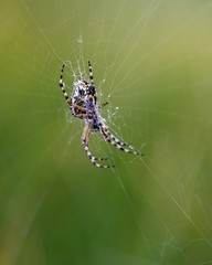 Araignée ssur toile