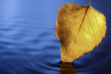 yellow leaf in blue water