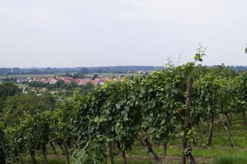 Weinreben oberhalb von Laudenbach an der Bergstrasse