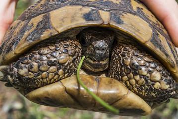 Hand holding Hermann's Tortoise