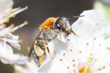 Biene auf Blüte im Sommer