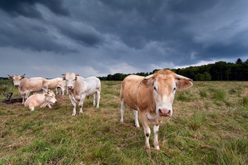few cows on pasture over dark sky