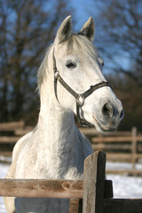Headshot of a beautiful grey horse in sunny wintertime