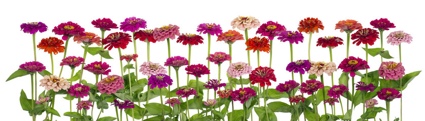 Zinnia  flowers big isolated border