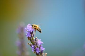 ラベンダーの蜜を吸うミツバチ
