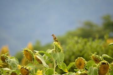 向日葵の種を啄むカワラヒワ