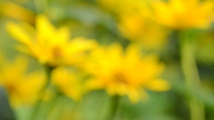 Yellow flowers in garden - transition from blur