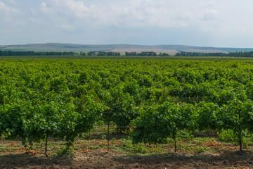 Таманский виноградник.