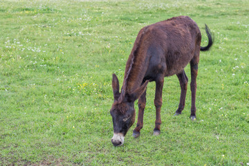 Domestic donkey in a field 2