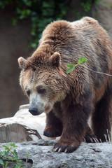 Bbrown bear on a rock