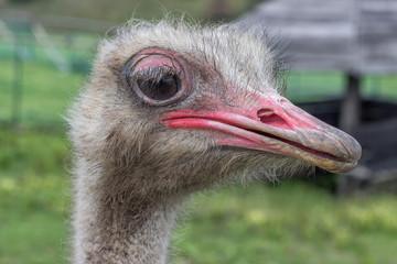 Close up ostrich head
