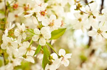 flowering buds
