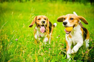 two beagle