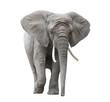 African elephant isolated on white with clipping path - 68320463