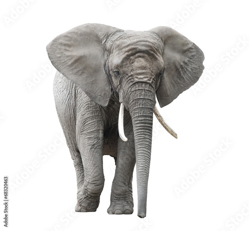 Tuinposter Olifant African elephant isolated on white with clipping path
