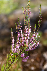 branch of heather