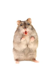 Hamster with an open mouth