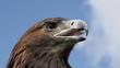 Predatory Bird Looks for Prey
