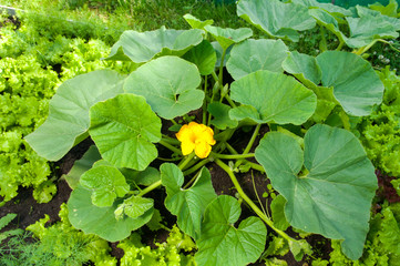 pumpkin plant with a flower growing it the farm