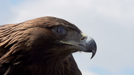 Golden Eagle Spread its Wings