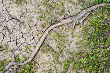 wooden root between dry earth and green grass at hot summer