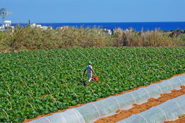 Field with courgettes in Cyprus
