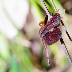 Male red dragonfly on plant , Neurothemis fluctuans