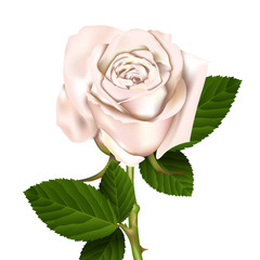 White Rose, vector