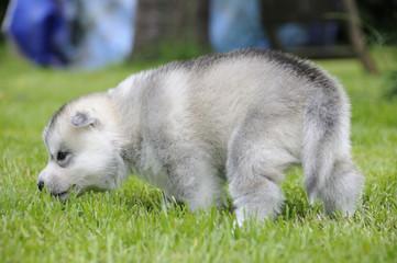 Husky puppie Nr8