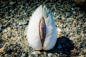 Clam isolated on a beach
