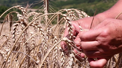 Woman inspecting the grains of ripe wheat