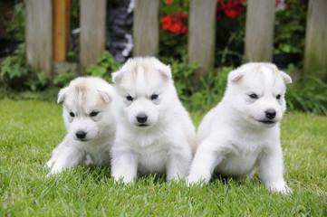 Husky puppie Nr13