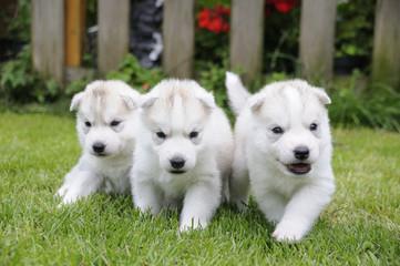 Husky puppie Nr12