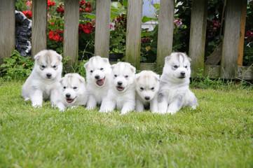Husky puppie 22