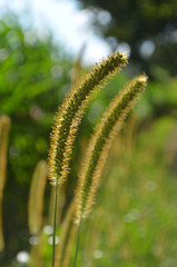 Long ears of grasses