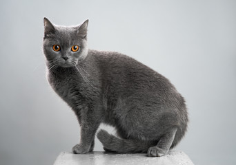 British gray cat on a stool