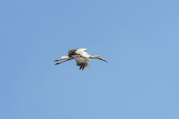 stork flying in the air