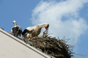 stork gives her young water