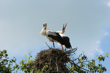 storks on their nest