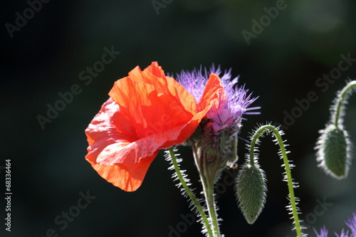 canvas print picture roter Mohn im Gegenlicht